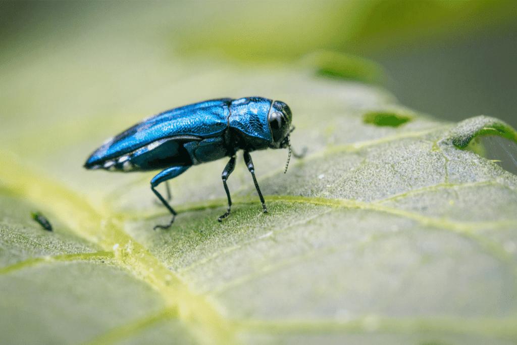 emerald ash bore beetle