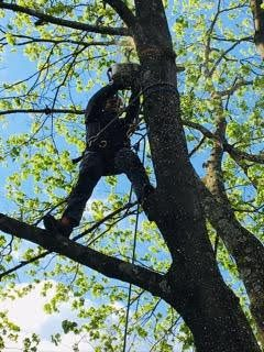 climber trimming limbs on trees in Towson, MD
