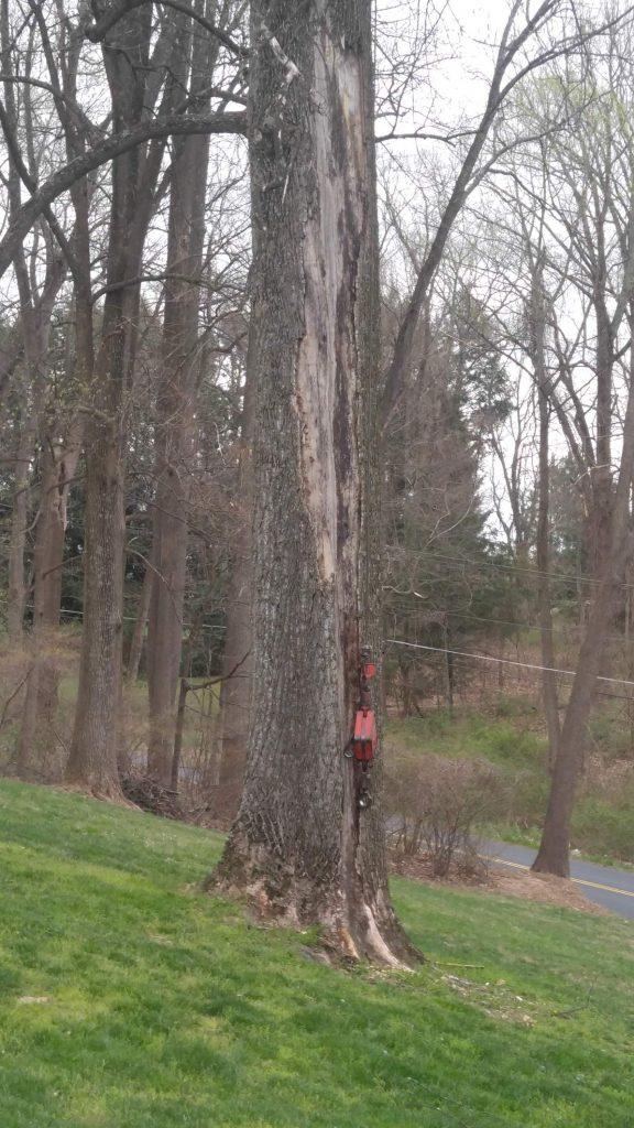 lightening struck tree prior to cutting