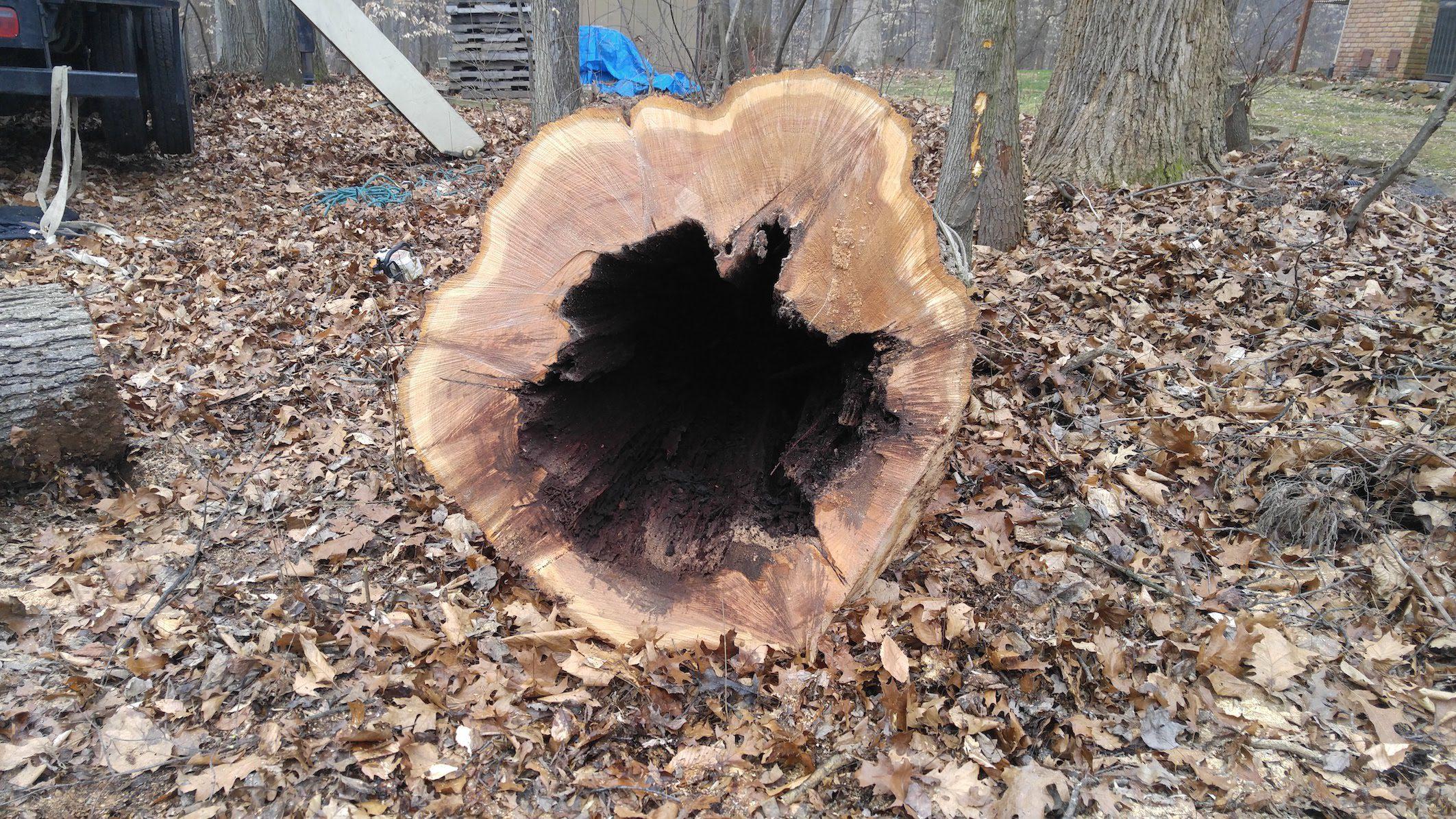 hollow tree trunk - danger tree