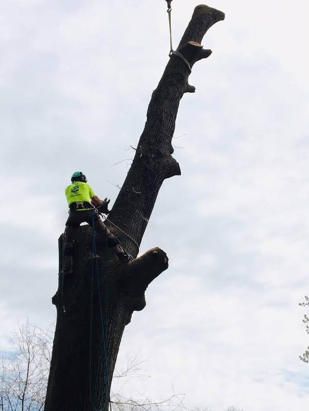 removal of top section of tree with crane