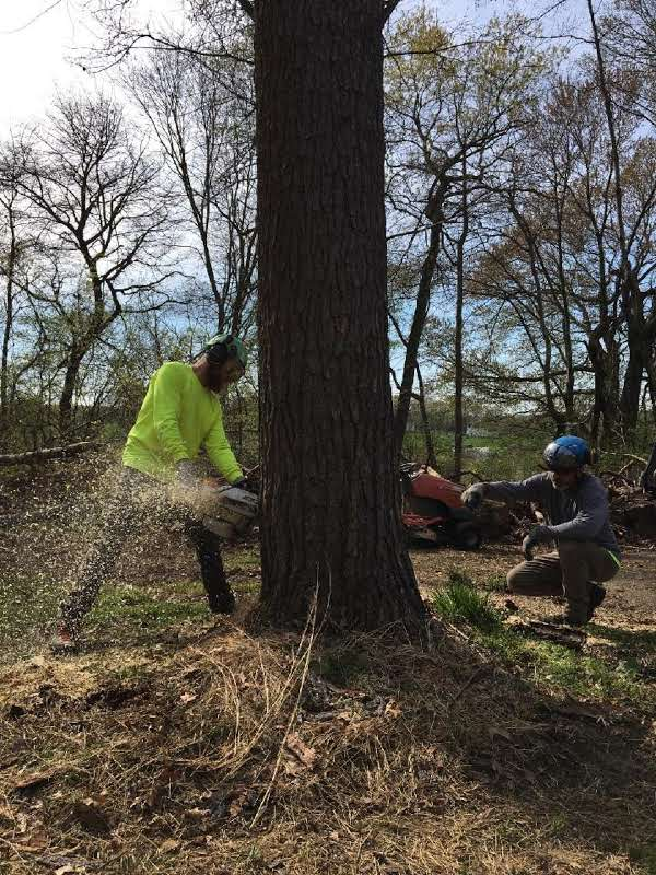 chainsawing tree base for tree removal