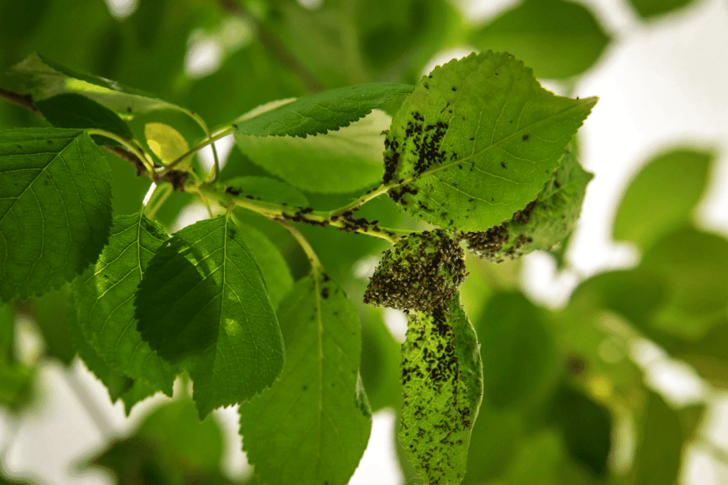 aphid infestation - tree service