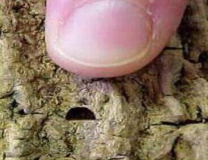 emerald ash bore beetle exit hole