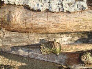 oak bark beetle damage in branches of tree