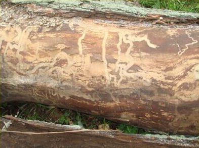 Emerald ash bore beetle damage in wood of tree