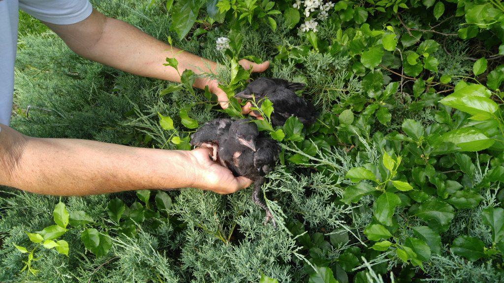 Baby crow nest found in tree in Cockeysville, MD - 3