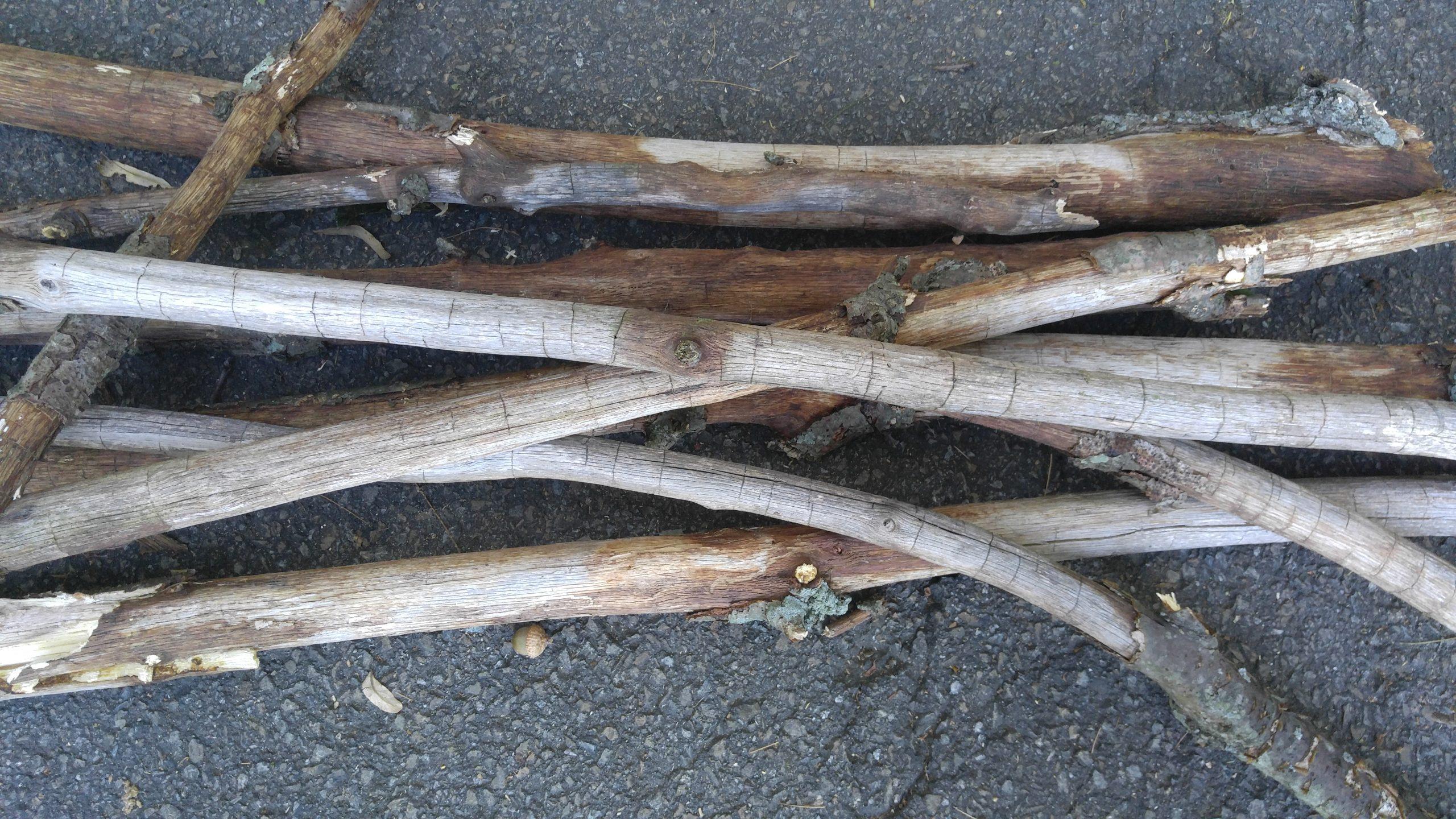 Oak Bark Beetle limb damage in Jarrettsville, MD