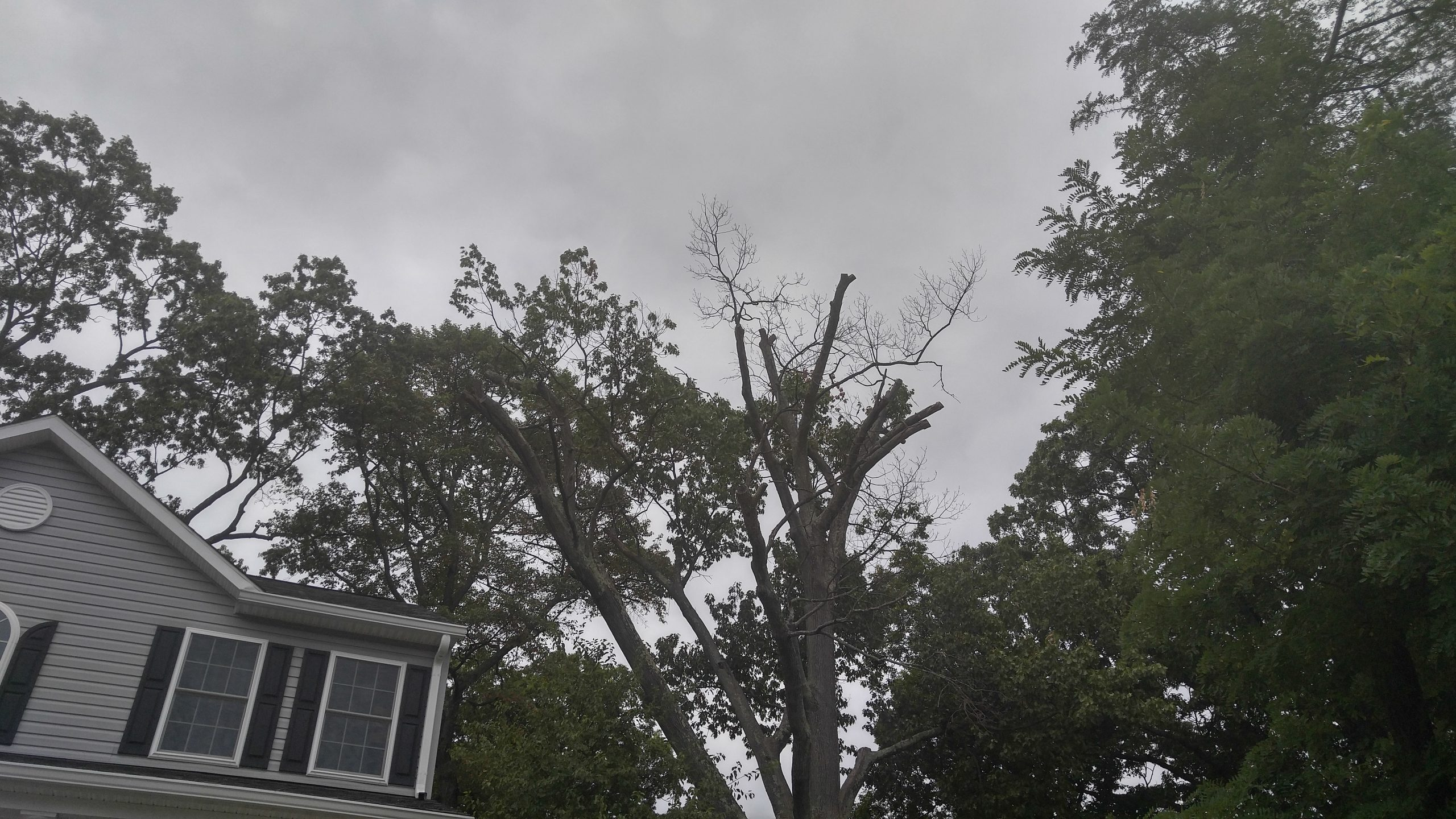 Tree topped in Towson, MD