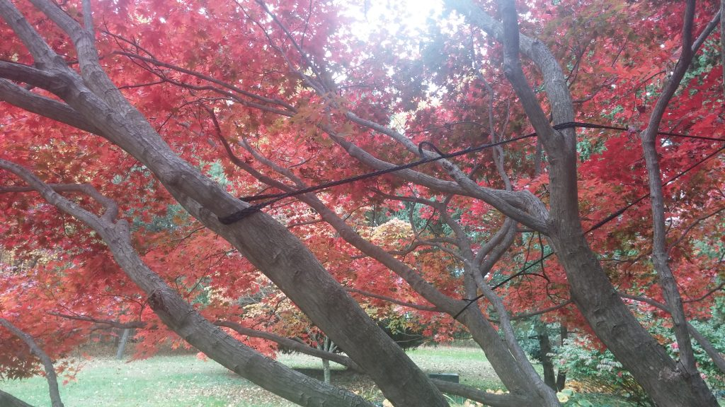 cabling of limb of Japanese Maple 2