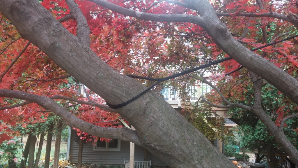 cabling of limb of Japanese maple