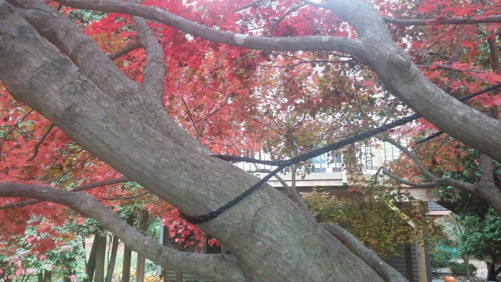 noninvasive cabling of limbs of Japanese Maple