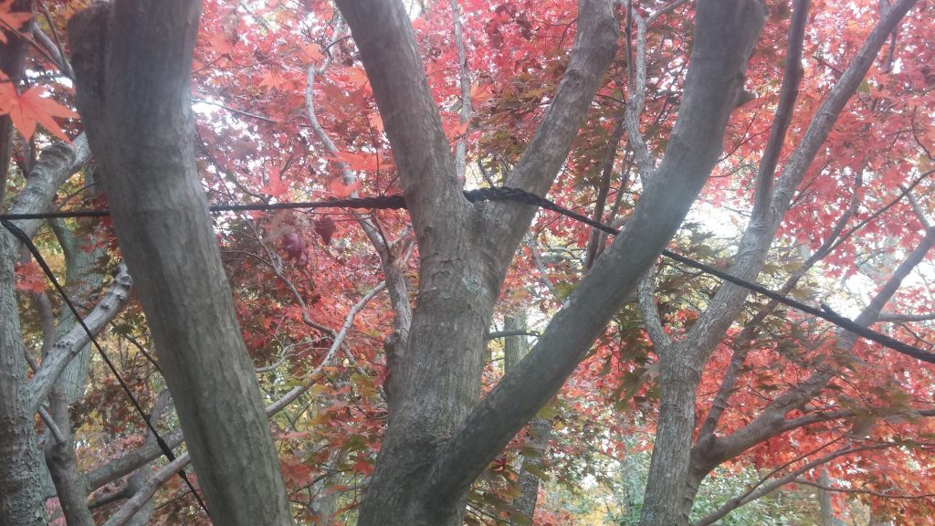 noninvasive cabling of Japanese Maple limbs with straps