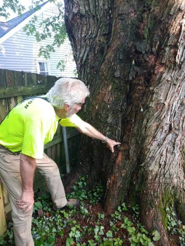 tree inspection of tree with damaged bark