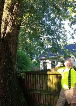 John Miley inspecting crown of tree