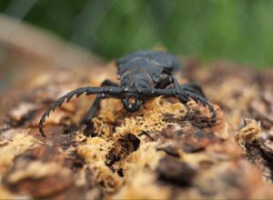 asian longhorn beetle causing tree damagee